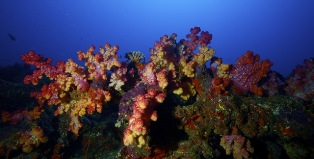 newly discovered soft coral reef and dive spot in Tonga - image by Darren Rice